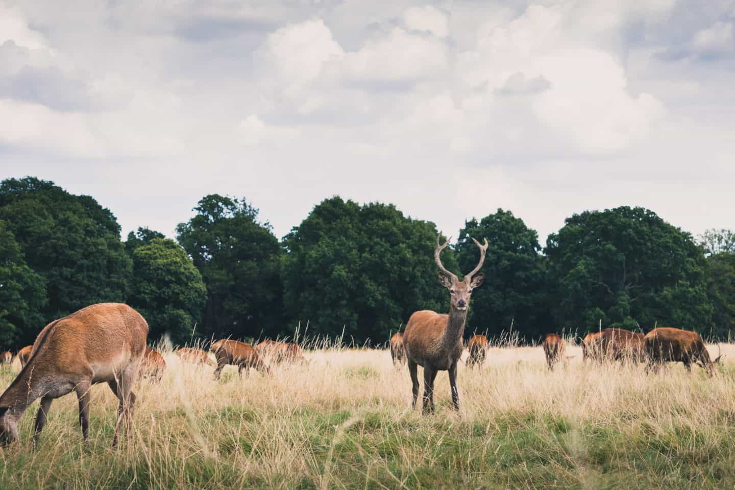 Richmond-Park-Deers